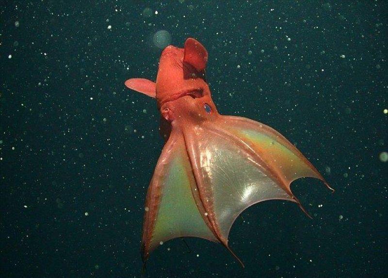 Vampire Squid