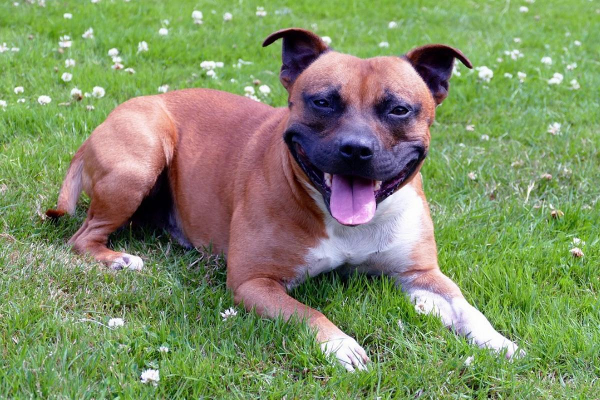 A Staffie wears a big smile while lying in the grass around small flowers.