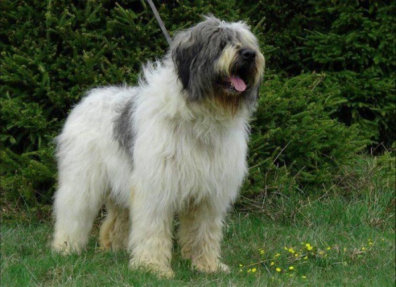 Romanian Mioritic Shepherd Dog's Are Mistrusting Of Strangers