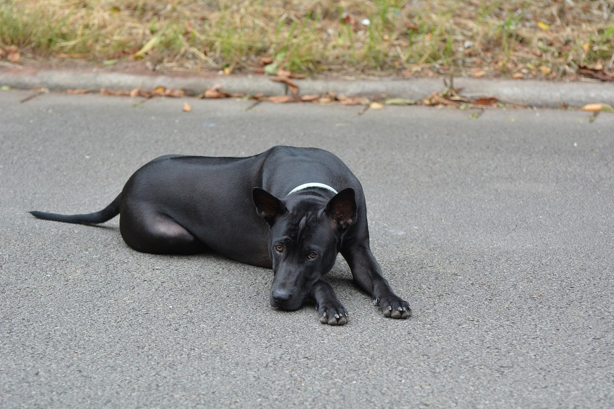 A Thai Ridgeback rests its head on its paw while lying on asphalt.