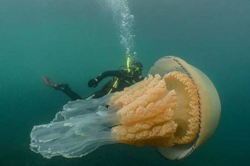 giant-jellyfish-2-80599