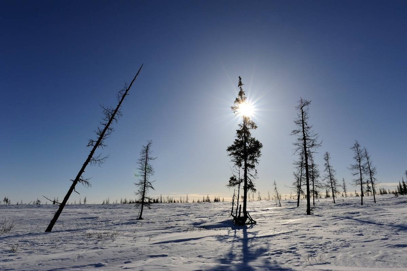 The sun shines on spiny trees in the Siberian tundra.