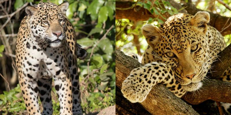 Jaguar Vs. Leopards