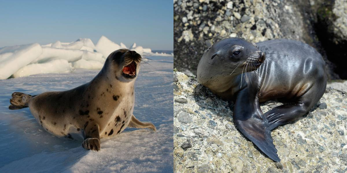 Seal Vs. Sea Lion