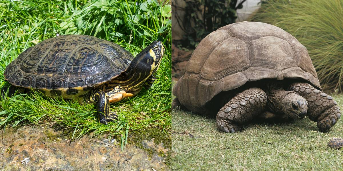 Turtle Vs. Tortoise