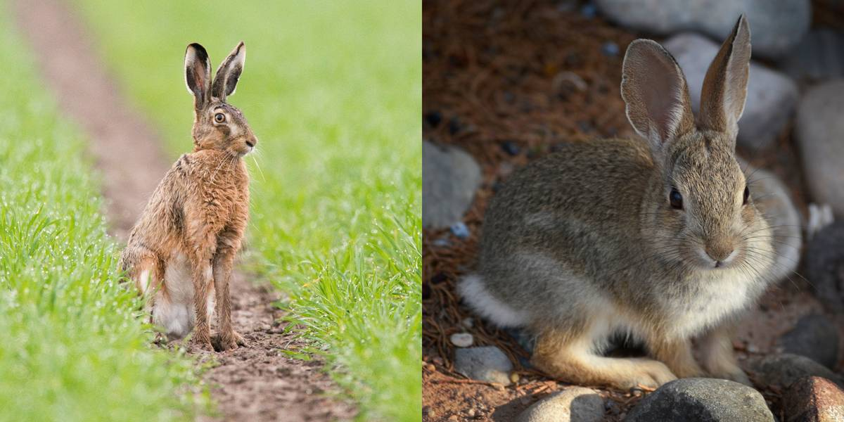 Hare Vs. Rabbit