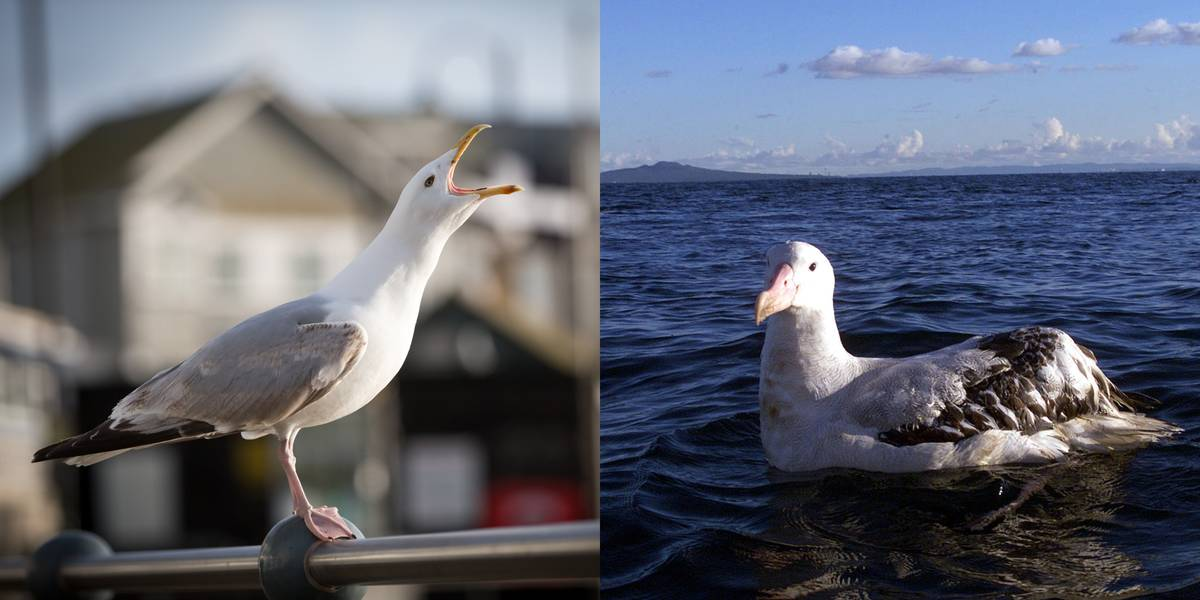 Seagull Vs. Albatross