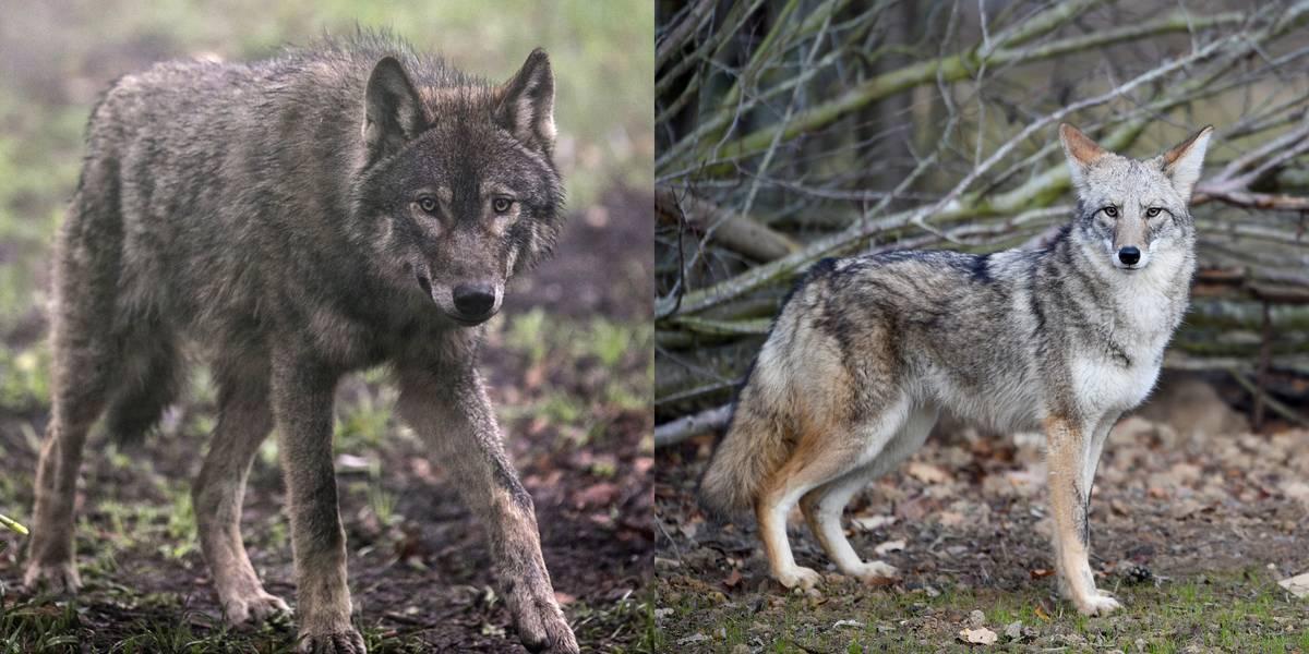 Wolf Vs. Coyote