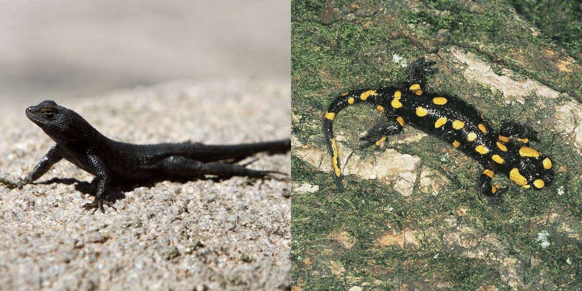 Lizard Vs. Salamander