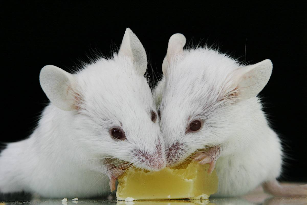 Two white mice eat a small block of cheese.
