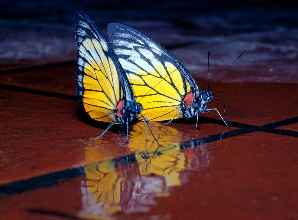 butterflies drinking water