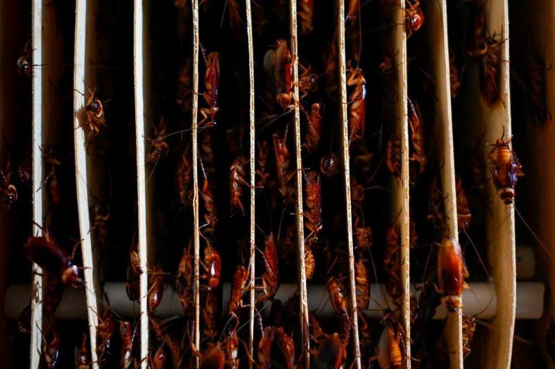 cockroaches on vertical separators