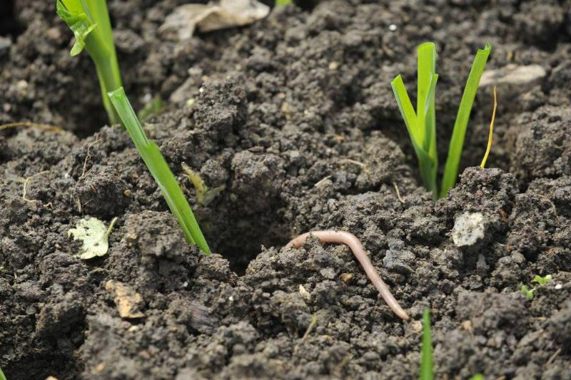 A worm crawls into a hole in a raised seed bed