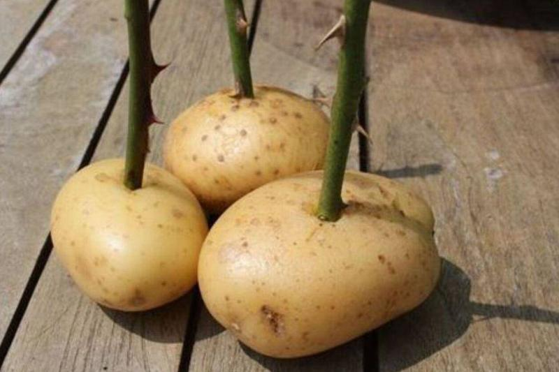 three potatos with rose stems in them