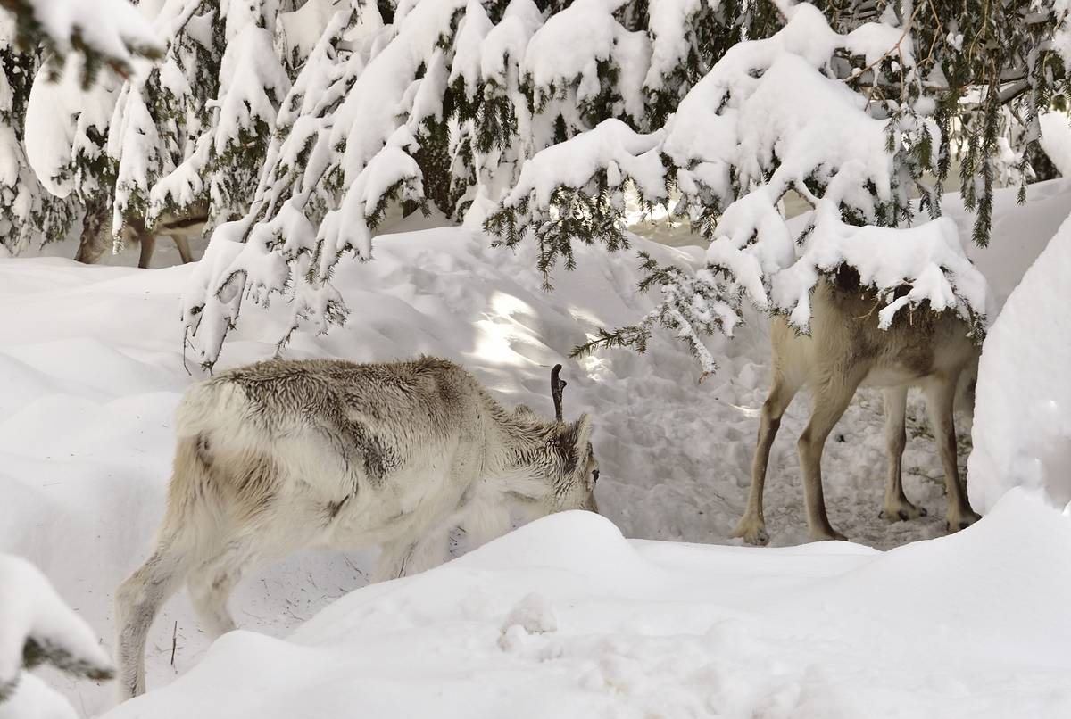 Reindeers in snow in area of Croda Rossa