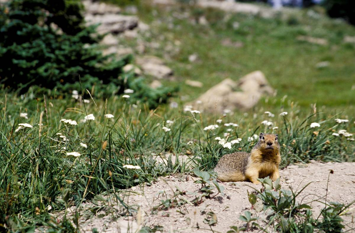 Montana, Glacier National Park, (Waterton-Glacier International Peace Park,) Ground Squirrel Near Logan Pass.
