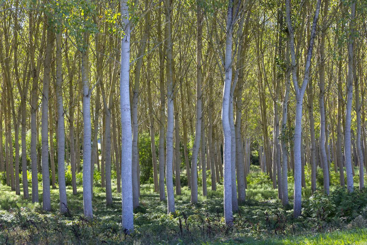 Birch Trees Copse in France