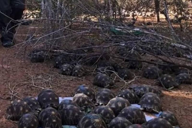Critically Endangered Tortoises