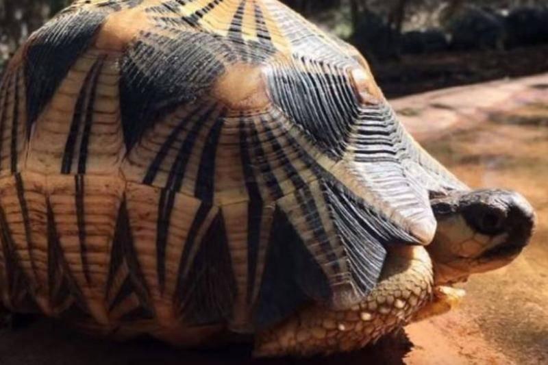 Radiated Tortoises Have Beautiful Shells