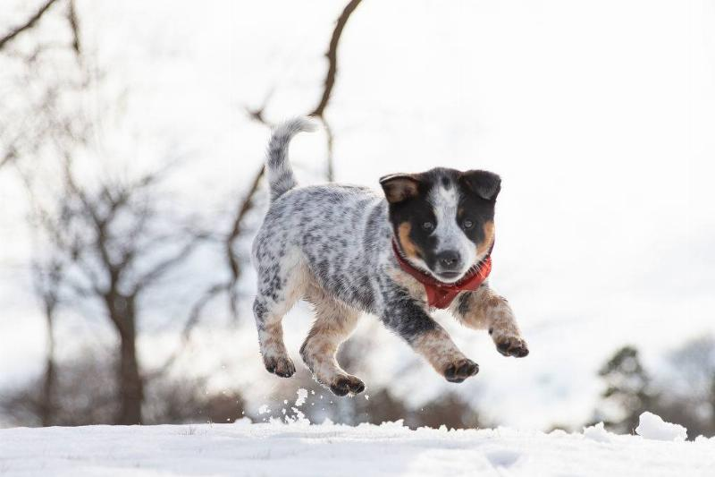australian cattle dog puppy playing in the snow