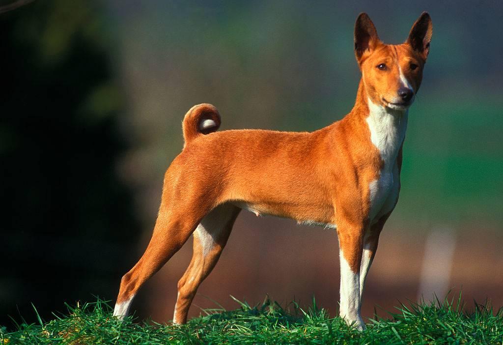 basenji dog standing on the grass
