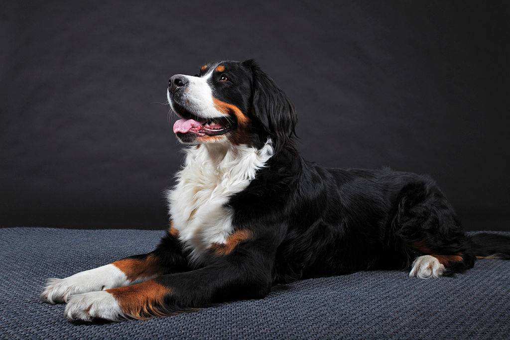 bernese mountain dog posing for a photo