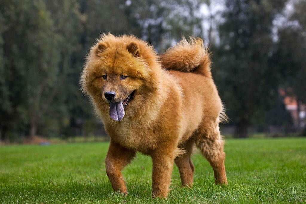 chow chow dog with its tongue out