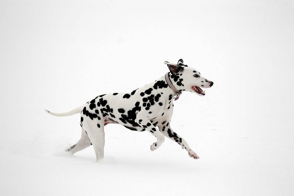 dalmatian running in the snow