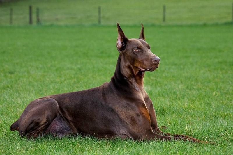 doberman pinscher sitting on the grass