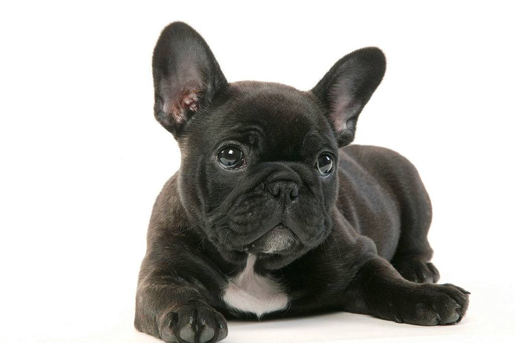 french bulldog puppy with a black and white coat