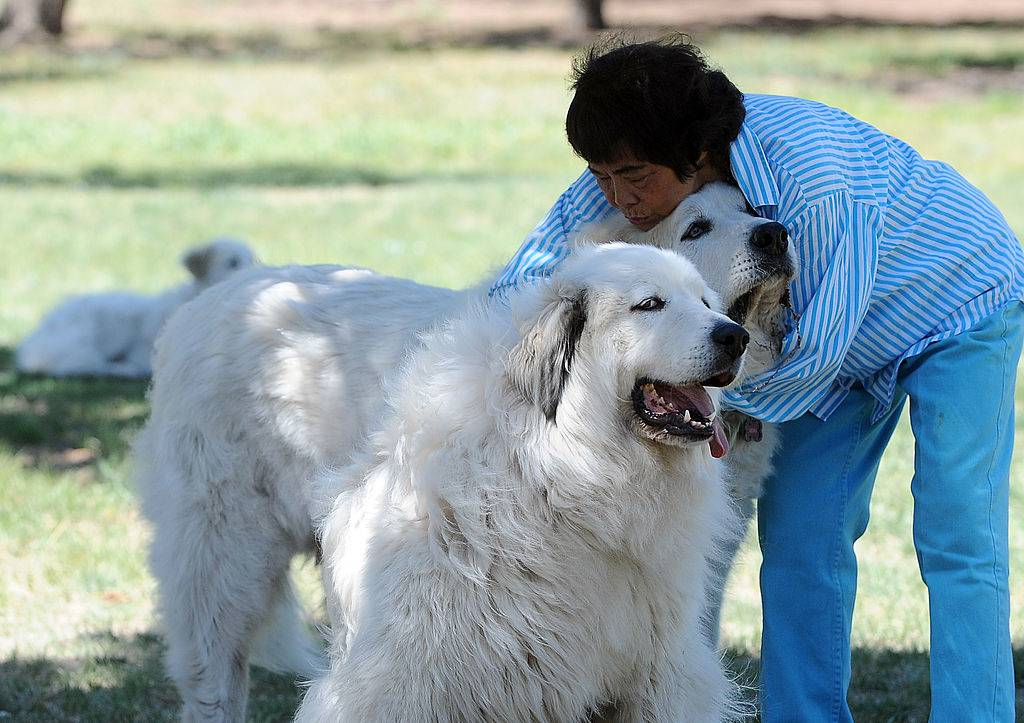 great pyrenees dogs cuddling with their owner