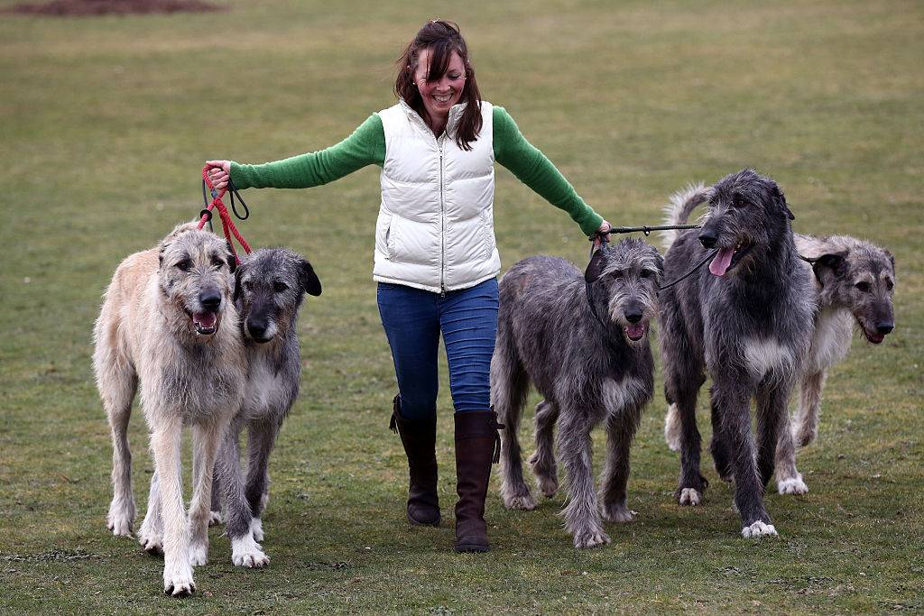a woman walking five irish wolfhounds on a grass field