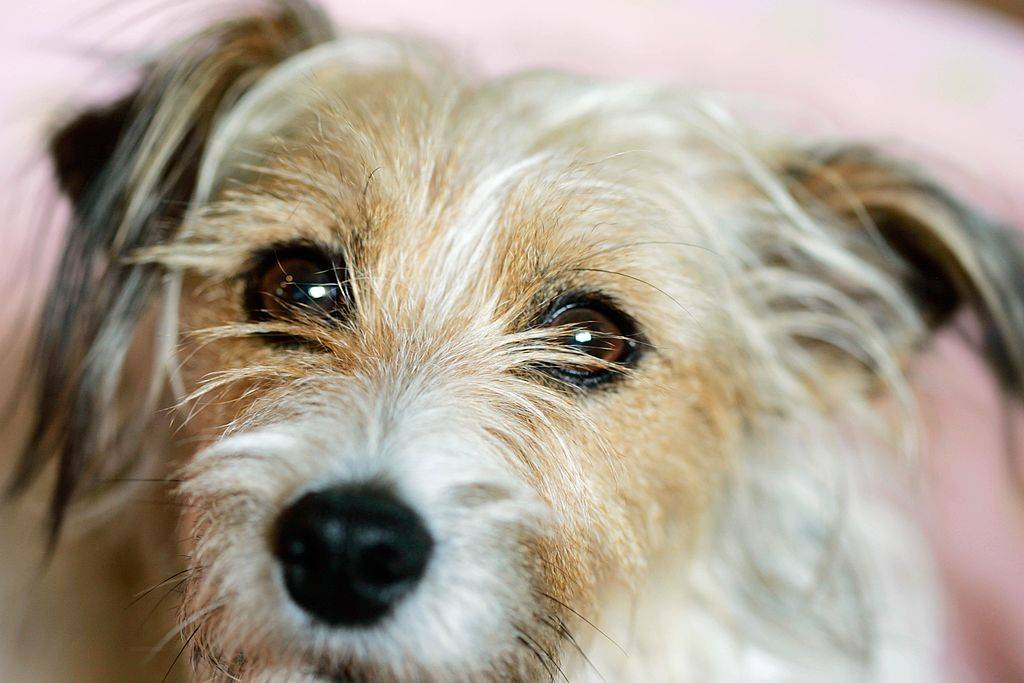 jack russell terrier with long fur