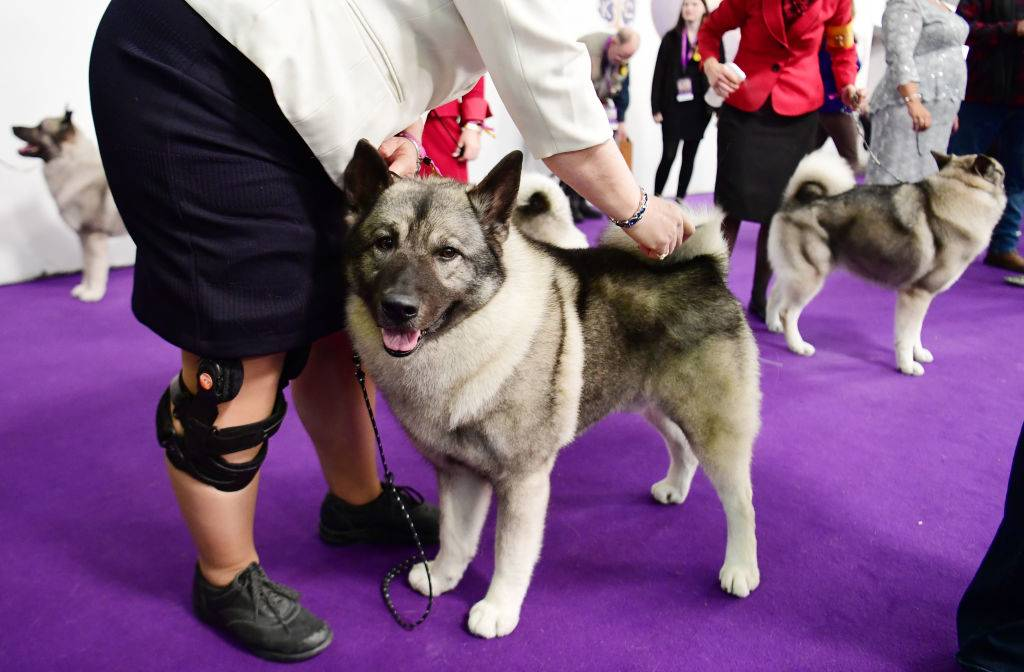 norwegian elkhound at a breed competition
