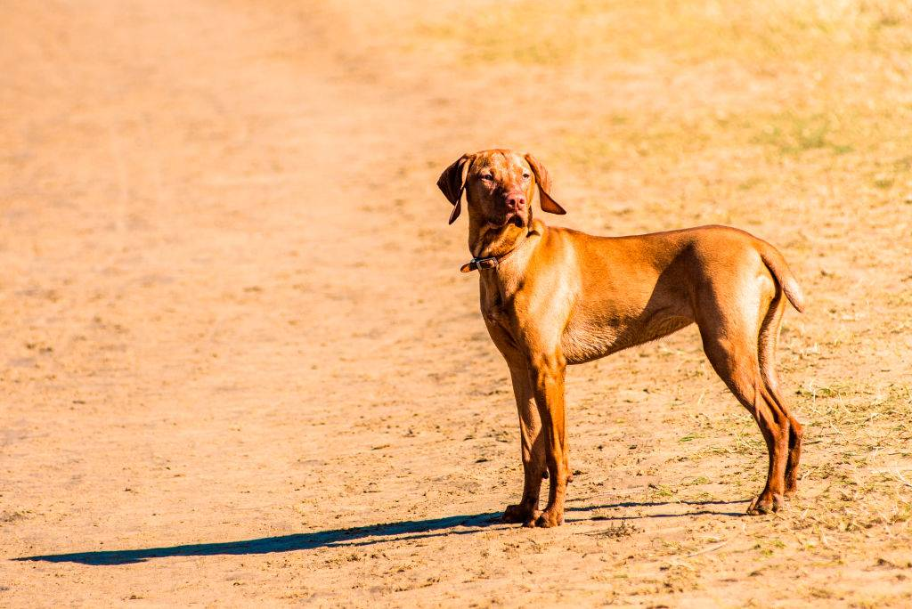 vizsla dog looking in the distance
