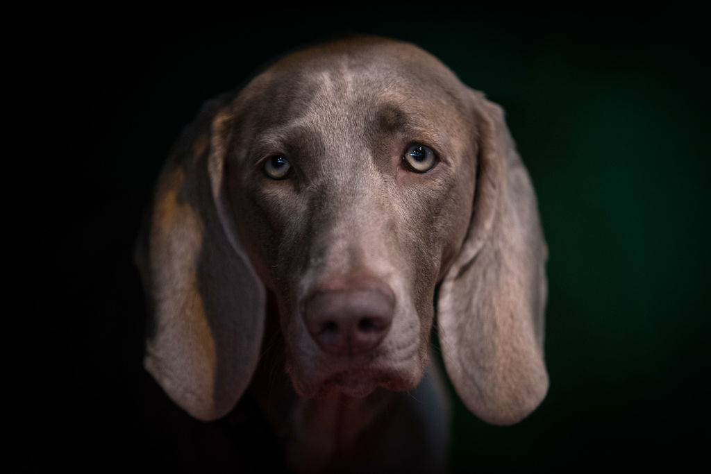 weimaraner posing for a photo