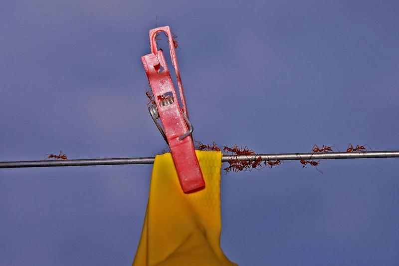 Several ants walk along a clothesline.