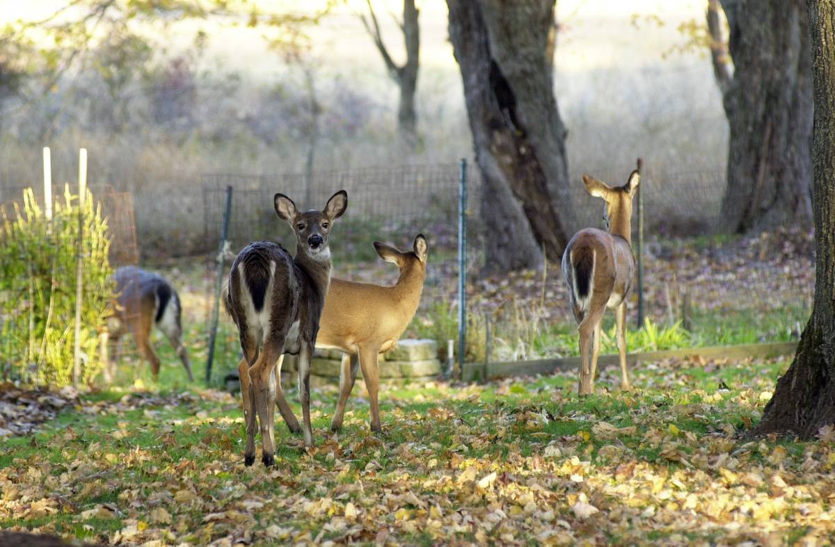 Several deer graze in a person's backyard.