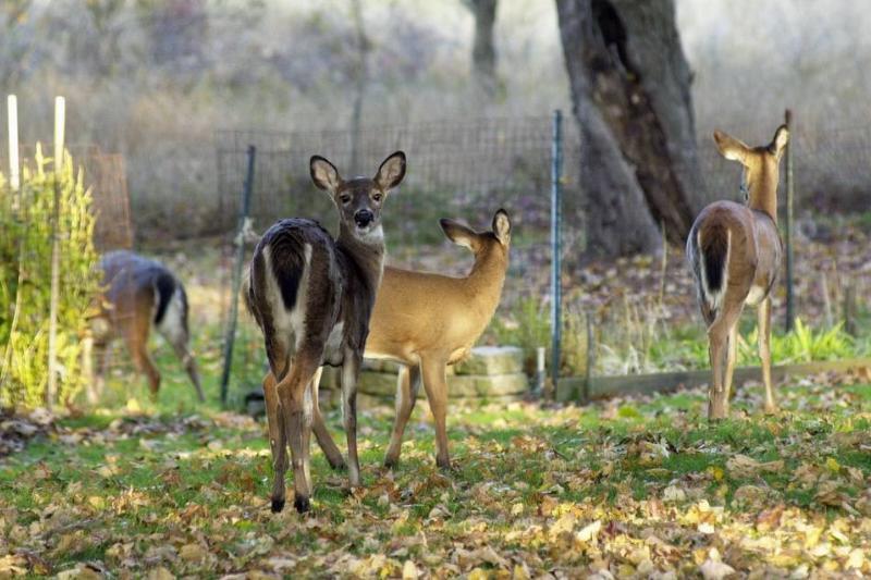 Several deer graze in a person's backyard.