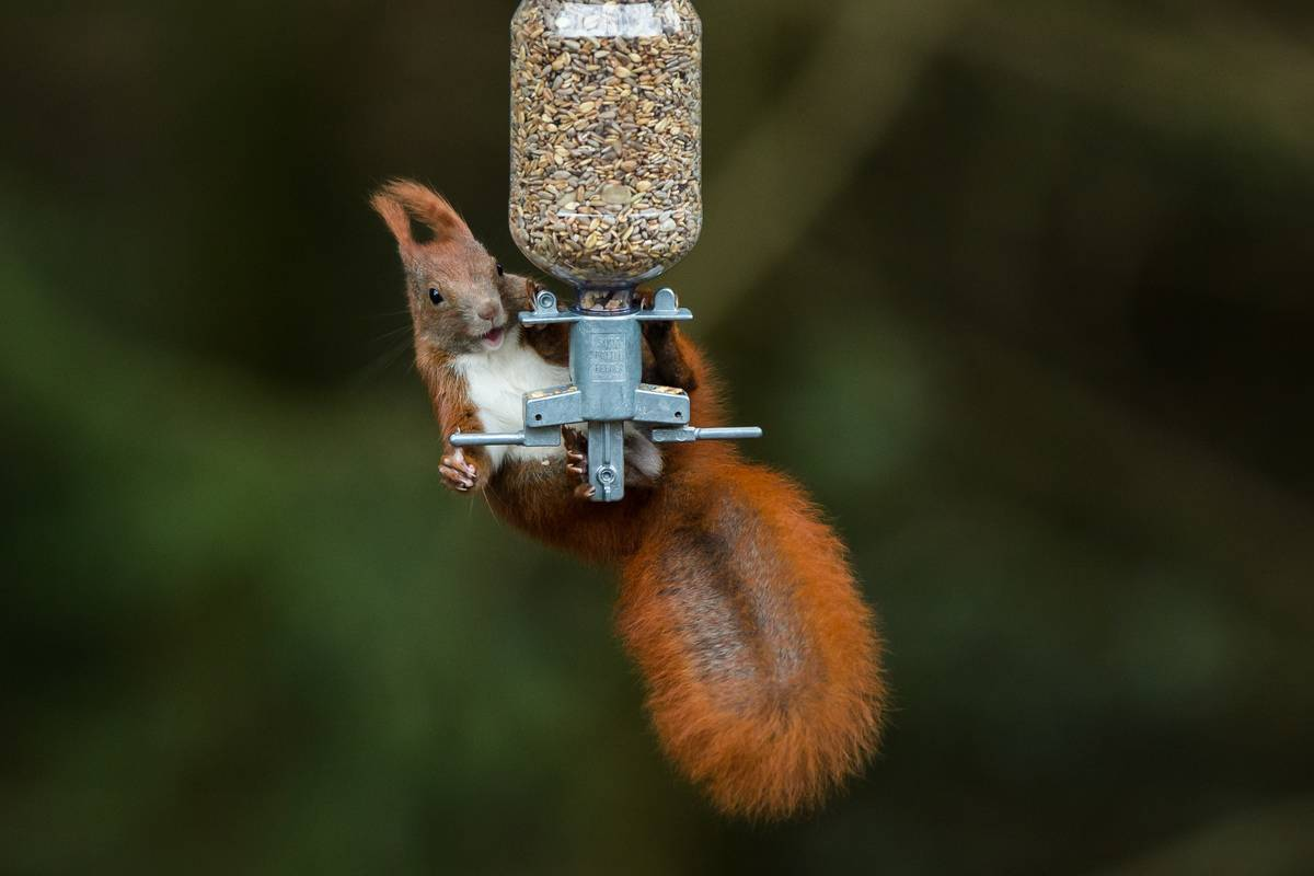 A squirrel clings to a hanging bird feeder.
