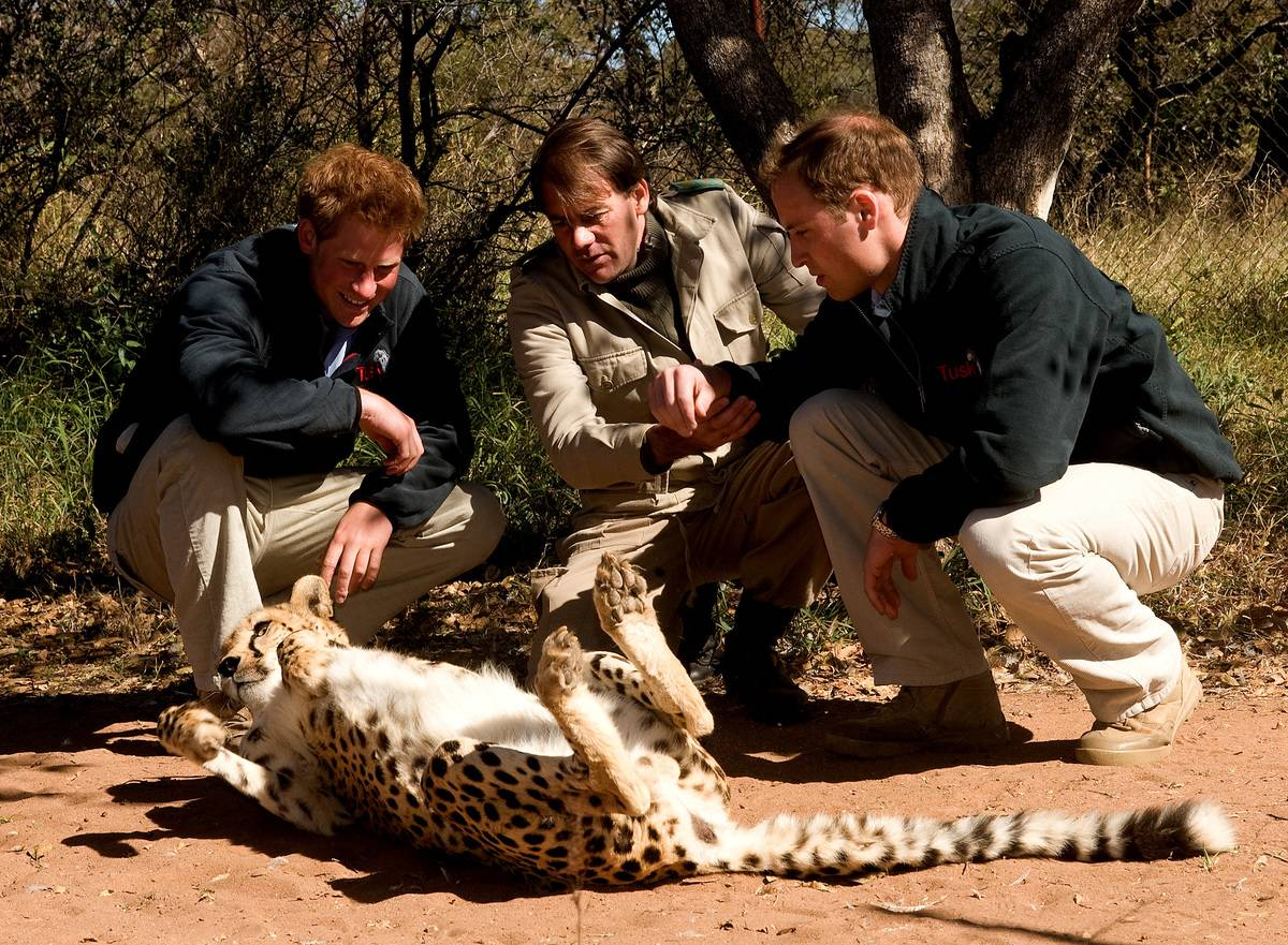 Prince William and Prince Harry play with a cheetah when they visit the Mokolodi Education Centre.