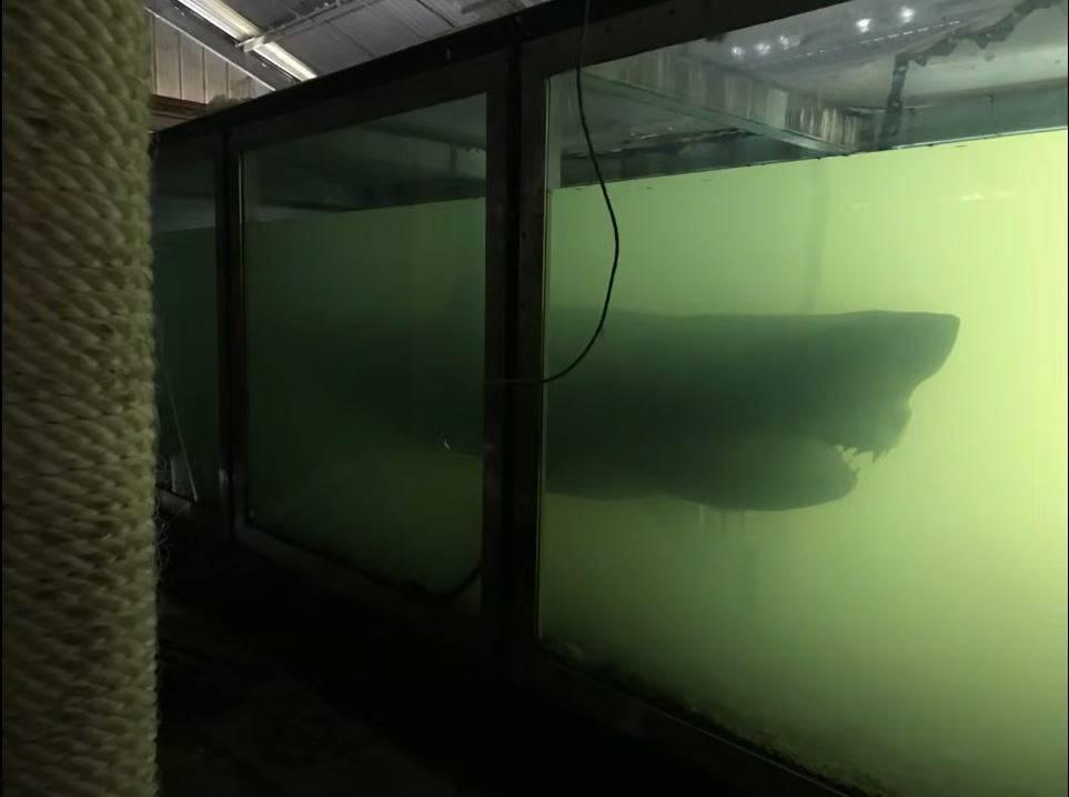 a taxidermized shark inside a murky green tank