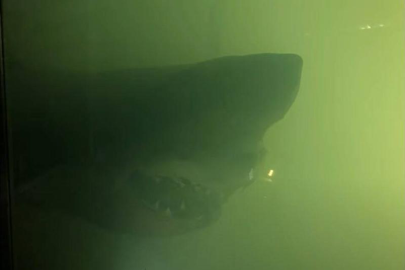 rosie the shark inside a green and murky tank