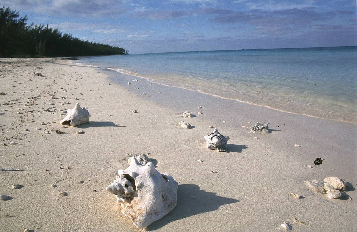 Conch shells lie on the beach of an island in the Bahamas.