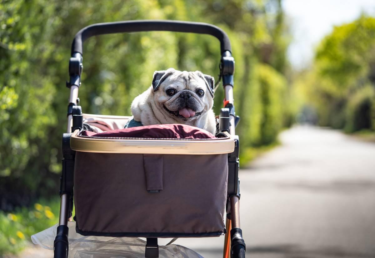 A pug in a pram