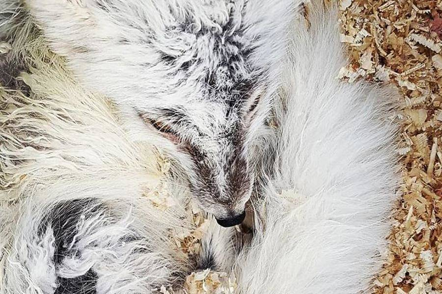arctic-fox-coming-into-shore-after-rescue-89371