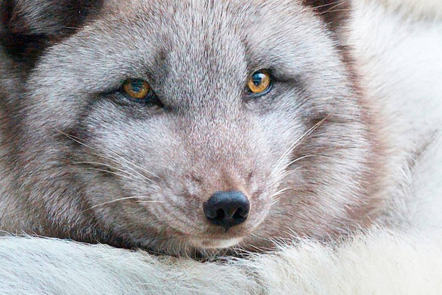 arctic-fox-doesnt-trust-fishermen-57904