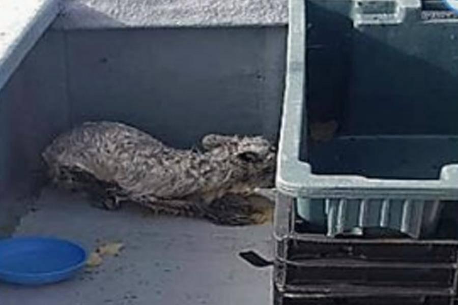 rescued-arctic-fox-hiding-10877