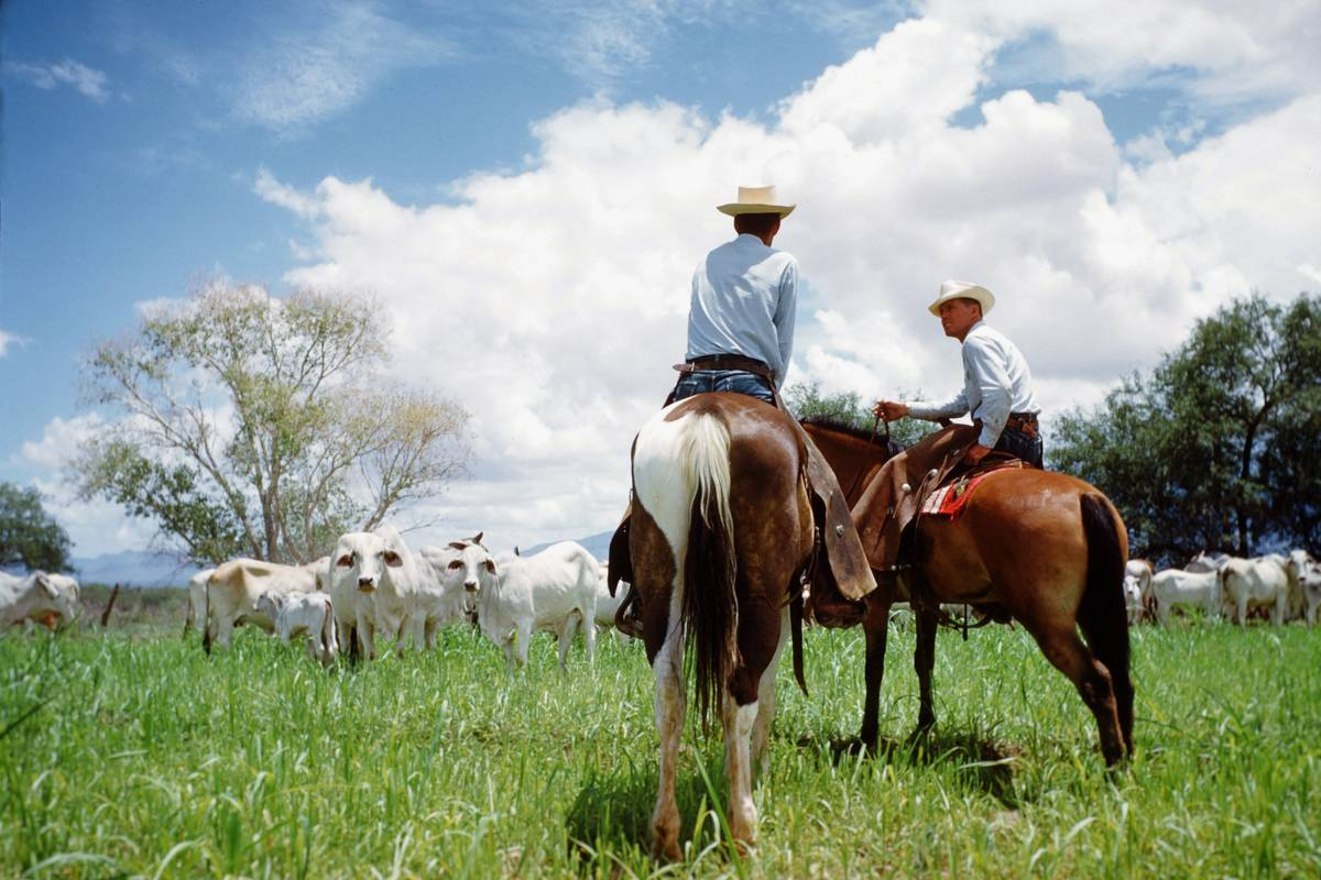 Two cowboys watch their cattle flock on horseback, Texas, 1950.