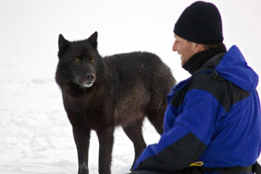 wolf-called-romeo-2-95278-71116